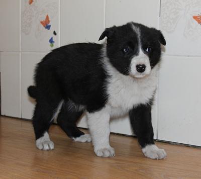 Пижон, 1,5 месяца